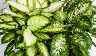 Cserepes zöld szobanövények
